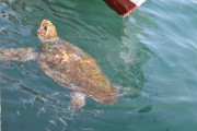 Turtles Caretta Caretta