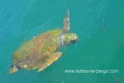 Caretta Caretta turtles