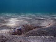 Морской дракончик